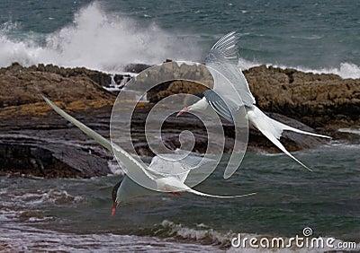 Arctic Terns in flight