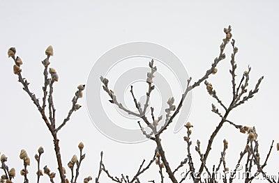 Arctic willow - Salix arctica