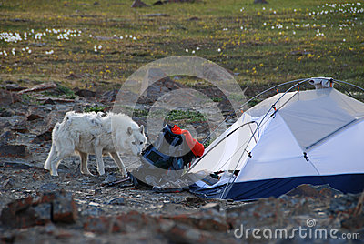 Arctic Wolf In Camp