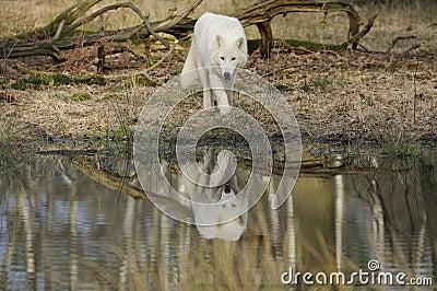 Arctic wolf ( canis lupus arctos )
