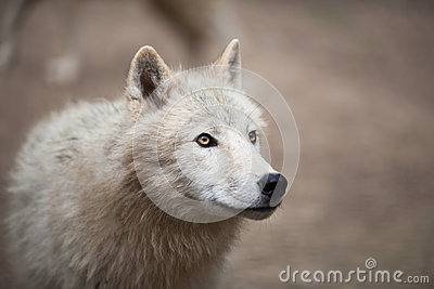 Arctic Wolf (Canis lupus arctos) aka Polar Wolf or White Wolf