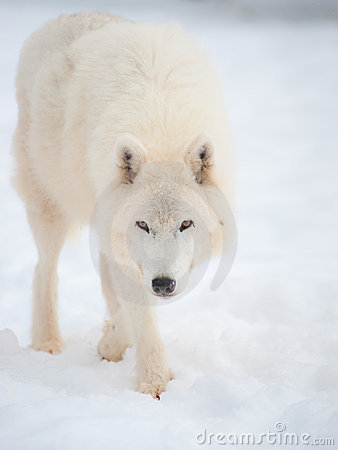 Free Arctic Wolf (Canis Lupus Arctos) In Snow. Royalty Free Stock Image - 13055016