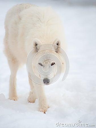 Arctic wolf (Canis lupus arctos) in snow.