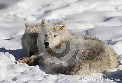 Arctic wolf couple.