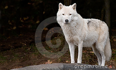 Arctic Wolf Looking at Us