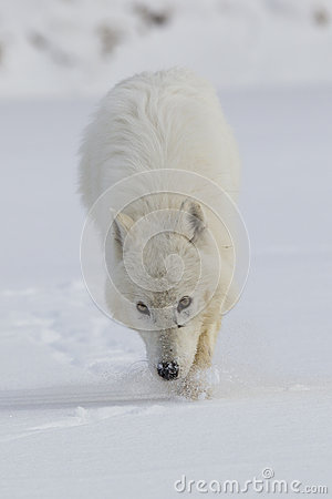 Arctic Wolf on Prowl