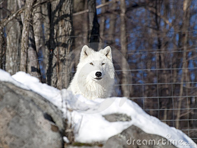 Arctic wolf in the snow