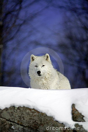 Arctic wolf in snow, watching