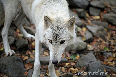 Arctic wolf with staring eyes