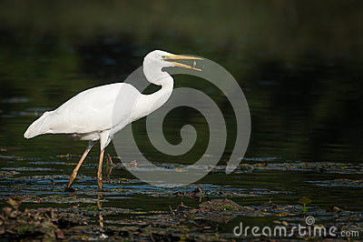 Ardea alba eating