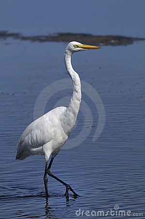Free Ardea Alba, Great Egret Royalty Free Stock Photo - 11180275