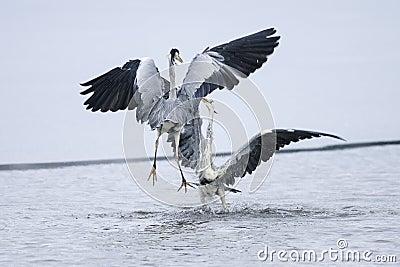 Ardea cinerea, grey heron