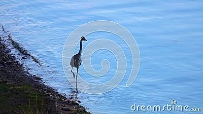 Ardea cinerea Ardea, jeune Heron gris, se balade dans l'eau douce à la recherche de proies banque de vidéos