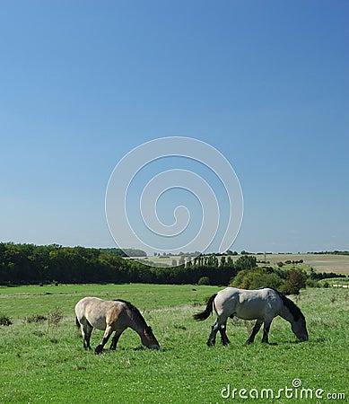 Ardennes horses on blue sky