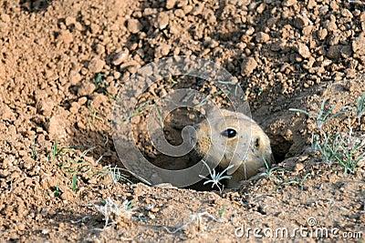 Ardilla de tierra en el agujero