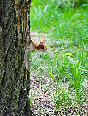 Ardilla que mira de detrás un árbol