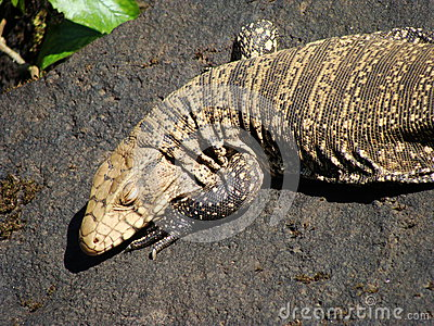 Argentine Black and White Tegu at Iguazu Falls