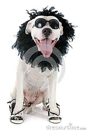 Free Argentinian Dog Stock Image - 44322791