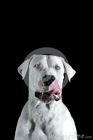 Free Argentinian Dog Stock Photography - 68057322