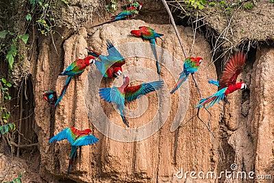 A argila das araras lambe a selva peruana Madre de Di das Amazonas
