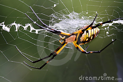 Argiope (black and yellow garden spider)