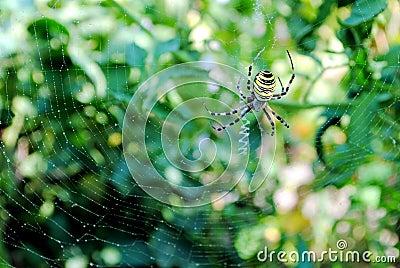 Argiope bruennichi, arachnid also called tiger spi