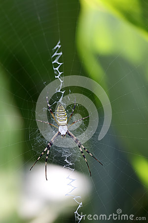 Argiope bruennichi on his web