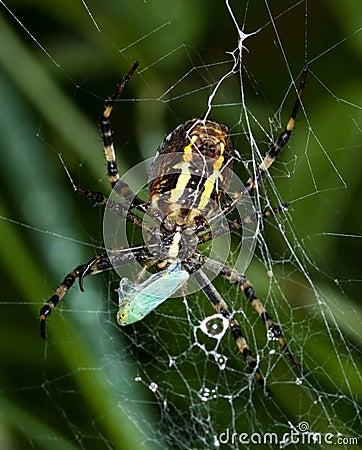 Argiope bruennichi spider catches a little cicade