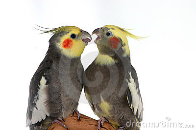 Arguing Cockatiels