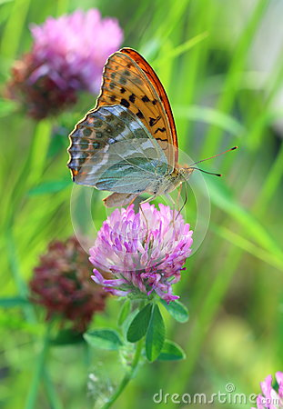 Free Argynnis Paphia. A Butterfly A Butterfly Close Up On The Blossom Stock Image - 74652461