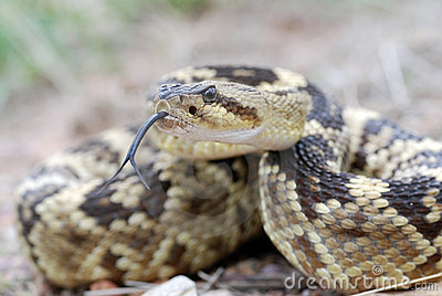 An Arizona Blacktail rattlesnake