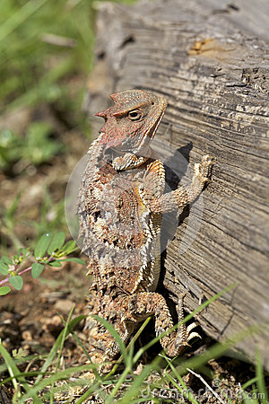 Arizona Horned Toad on Log