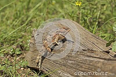 Arizona Horned Toad on Log