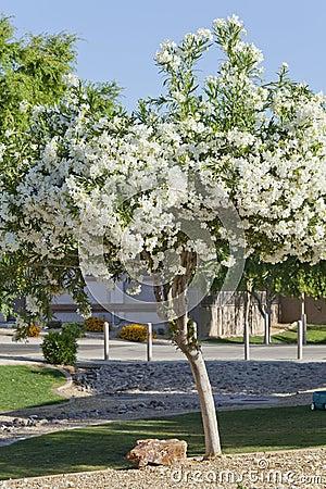 Arizona White Oleander