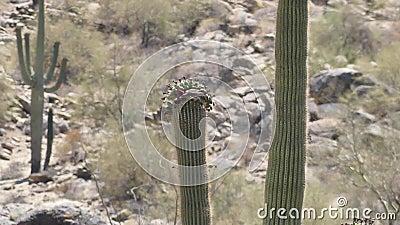Arizona, woestijn, een duif het drinken nectar van bloemen bovenop een saguarocactus