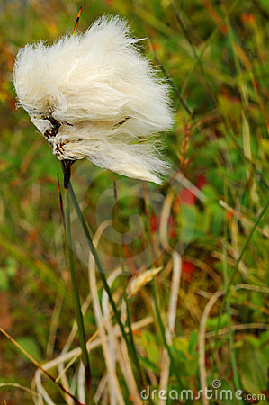 Arktisk bomullstuft