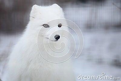 Arktyczny lis