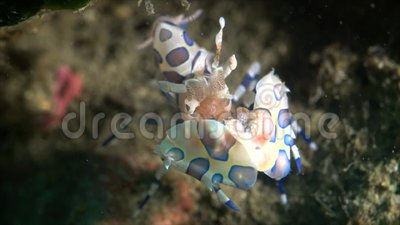 Arlequín Shrimp-1080P metrajes