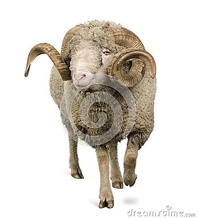 Free Arles Merino Sheep, Ram, 5 Years Old Royalty Free Stock Photography - 13665577