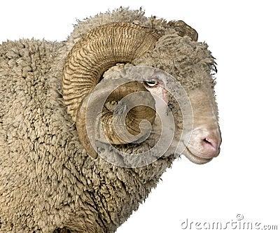 arles merino sheep  ram