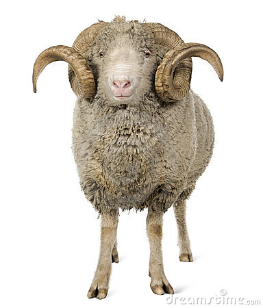 Free Arles Merino Sheep, Ram, 5 Years Old Stock Photo - 13665740
