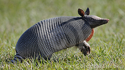 Armadillo standing in grass