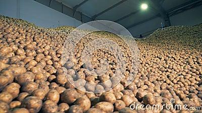 Armazém completo com batatas Colheitas da batata armazenadas em um armazém filme