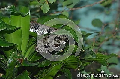 Armenian viper 2