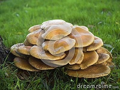 Armillaria Mellea de champignons de couche ou Miel-champignons de couche