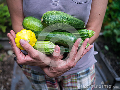 Armload of Fresh Picked Summer Squash