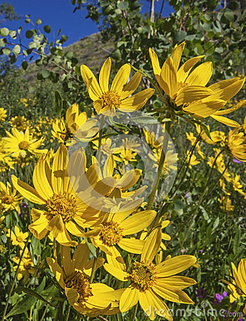 Free Arnica And Aspen Royalty Free Stock Photography - 35633147