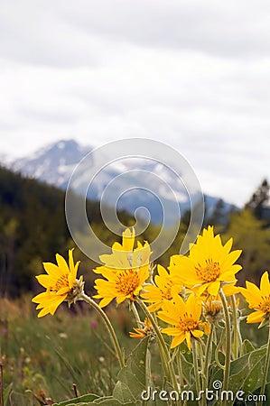 Free Arnica Wild Flower Royalty Free Stock Photos - 4004718