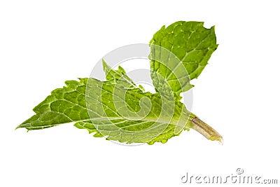 Aroma mint leaves