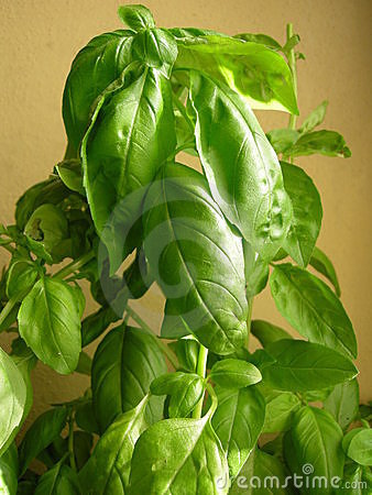 aromatic basil  fresh herbs